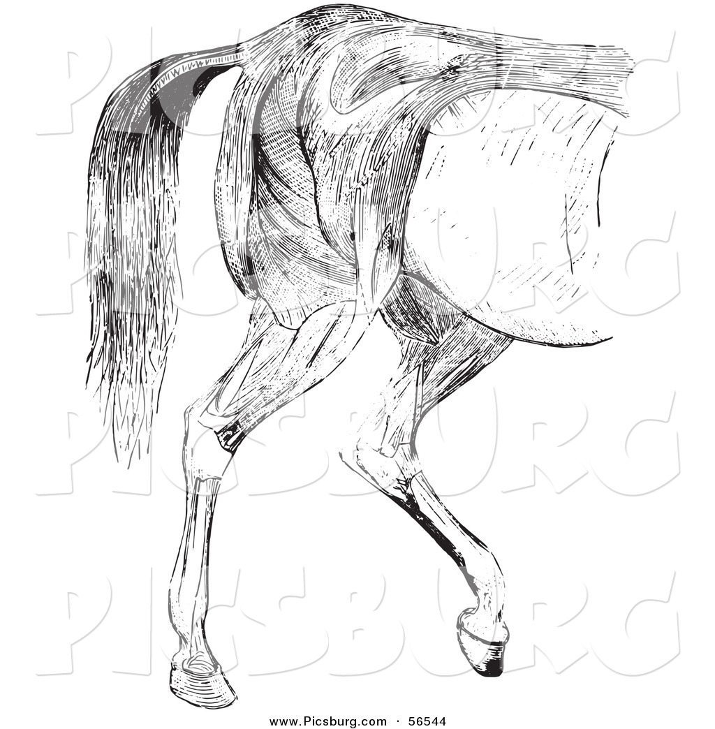 Horse Muscles