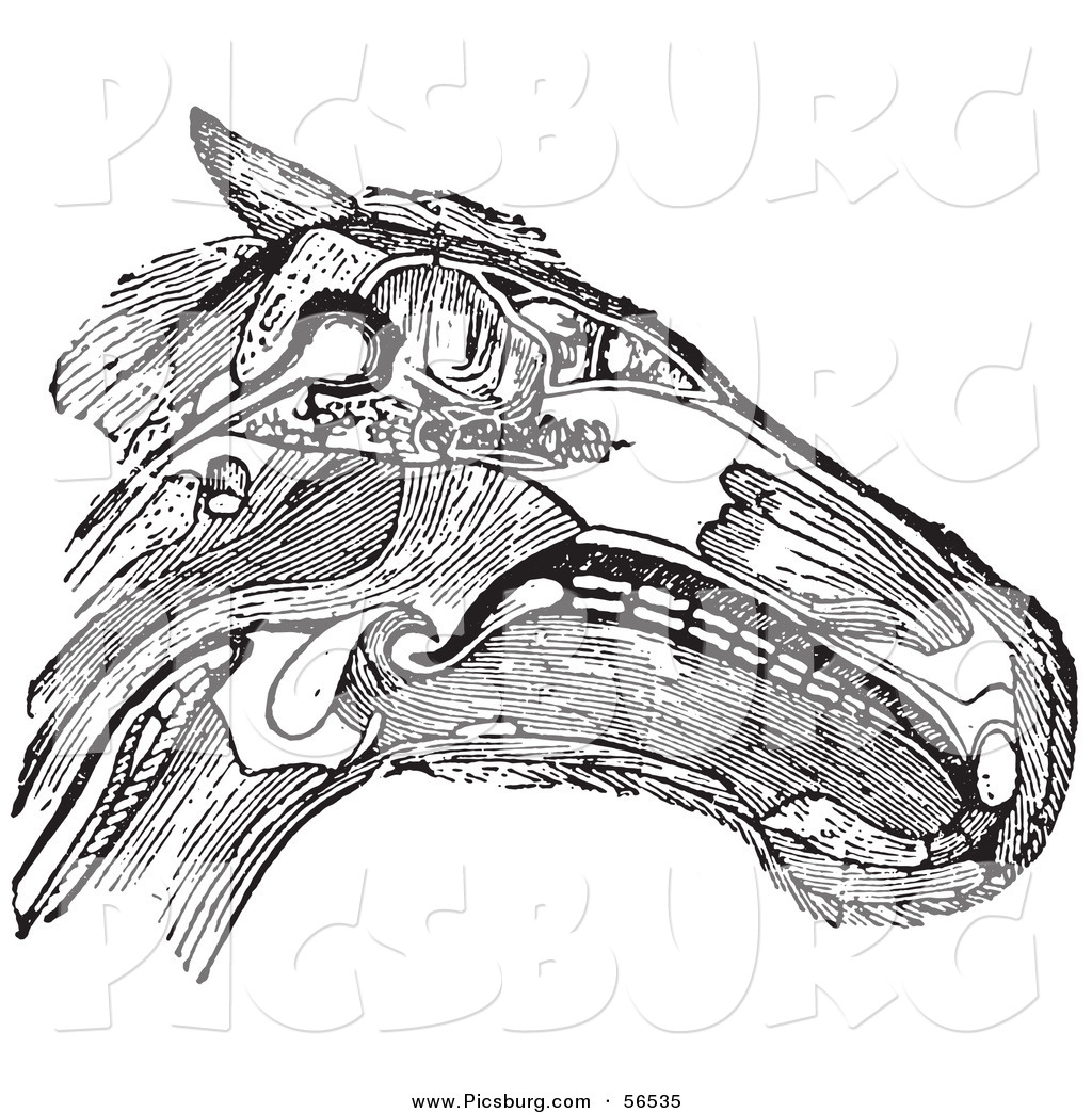 Clip Art Of An Olf Fashioned Vintage Diagram Of A Horse