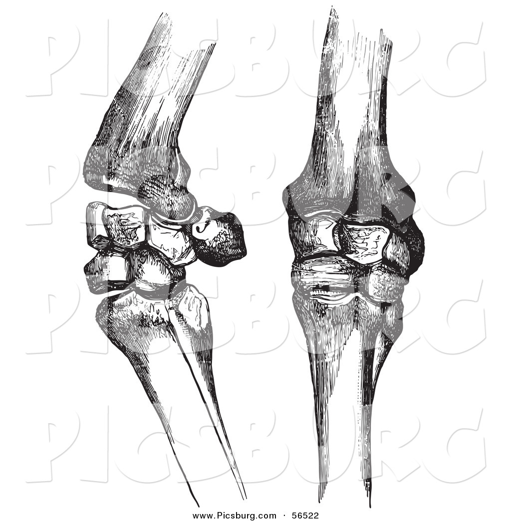 Clip Art Of Two Horse Knee Bones And Joints