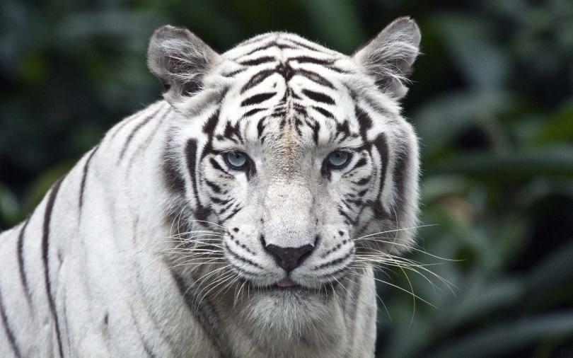 a-giant-white-tiger-wallpaper