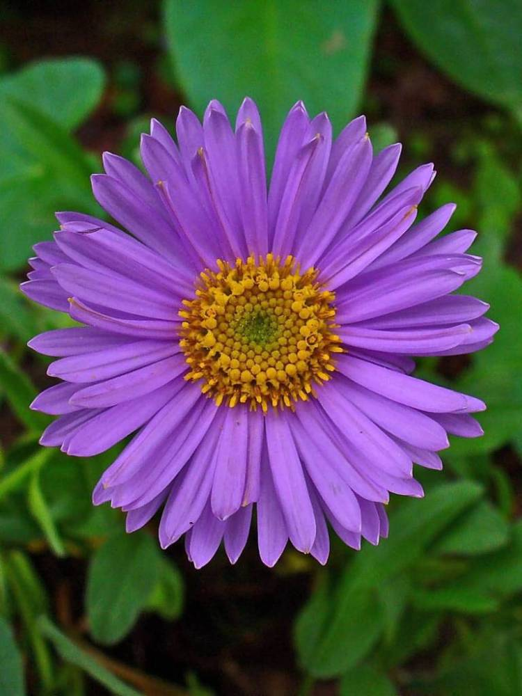 Amazing Aster Flower With Orange Combination