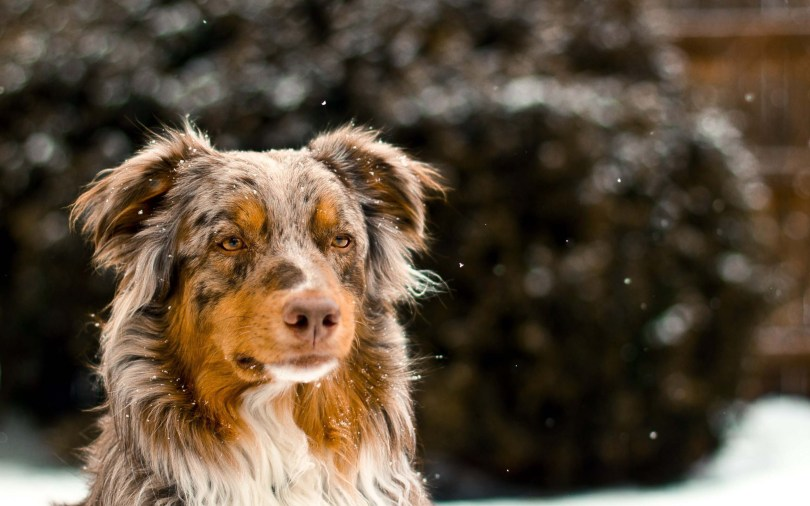 amazing-australian-shepherd-full-wallpaper Amazing Animal Wallpaper