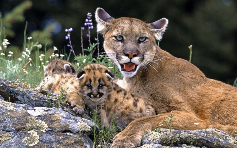 amazing-cougar-with-kids-hd-wallpaper