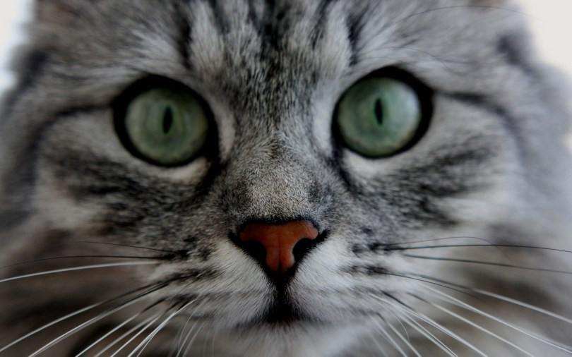 amazing-face-of-the-grey-colur-cat-and-his-eyes-hd-wallpaper