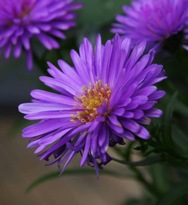 Amazing Older Aster Flower Plant With Orange Center For Desktop