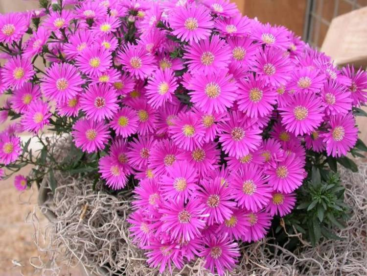 Amazing Pink Aster Flower For The Most Decoration