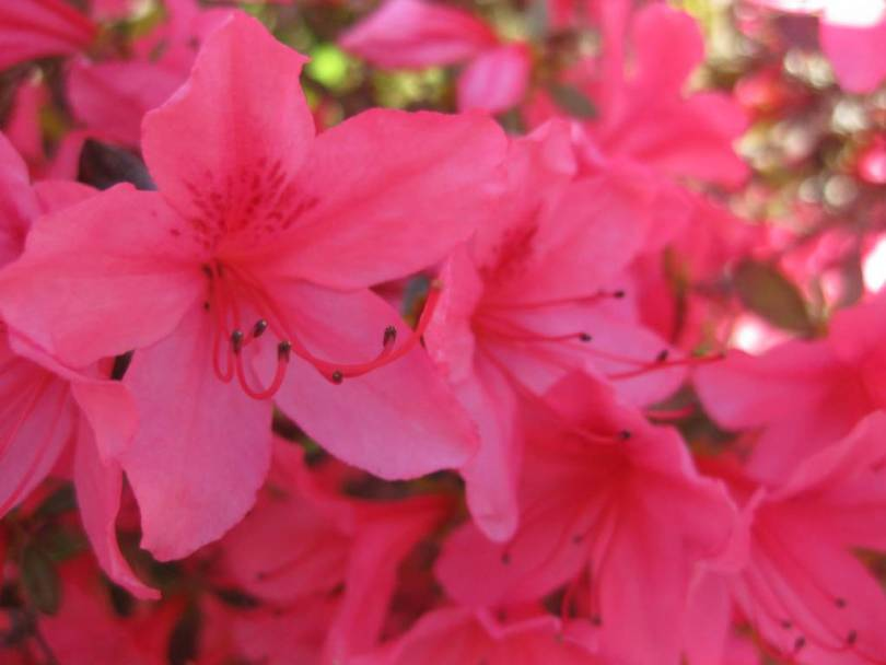 Amazing Red Wonderful Azalea Flowers For Girl Friend