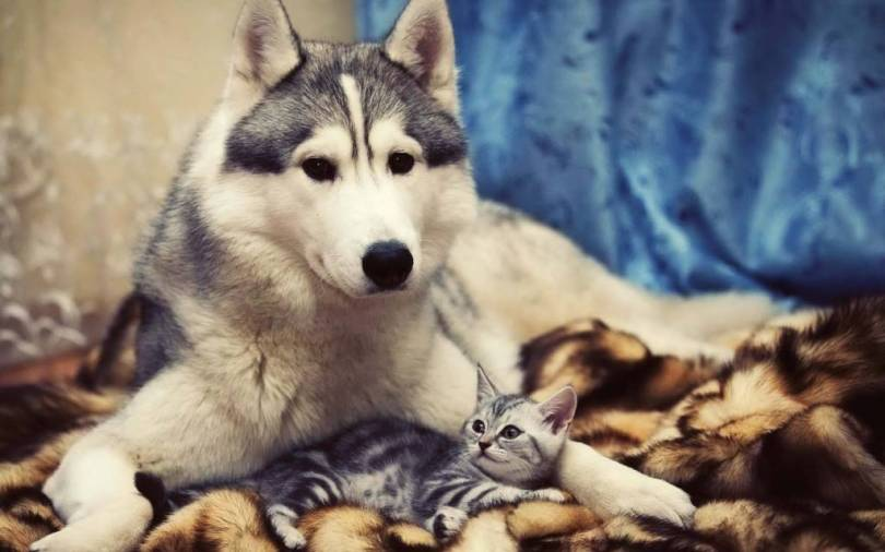 Amazing Shot Of Husky Dog With A Cat Wallpaper