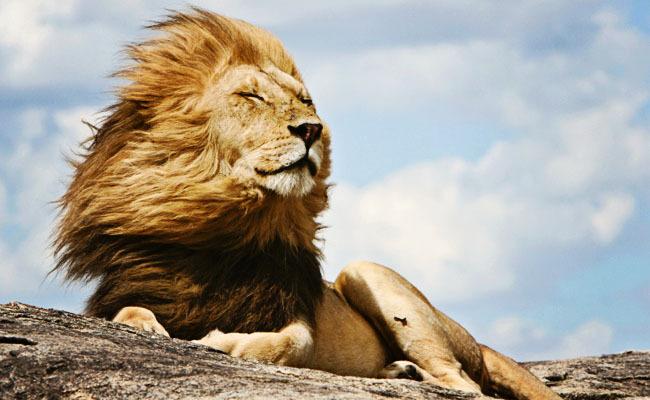 30 Amazing Lion Wallpaper,Images,Pics,Snaps & etc