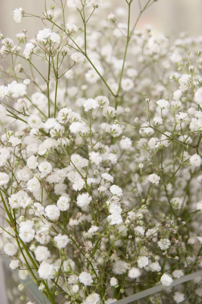 Amazing White Baby's Breath Flower Plants For Decoration