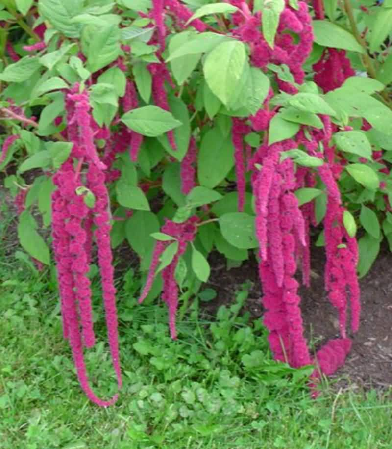 Attractive Long Red Giant Amaranth Flowers Plant With Green Leafs