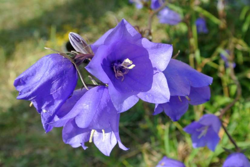 Attractive Many Blue Bellflower For Decoration