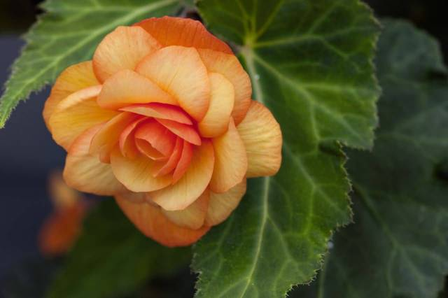 Attractive Orange Begonia Flower With Green Leaf