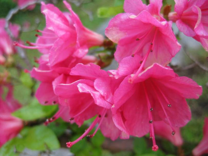 Awesom Pink Azalea Flowers For Wedding