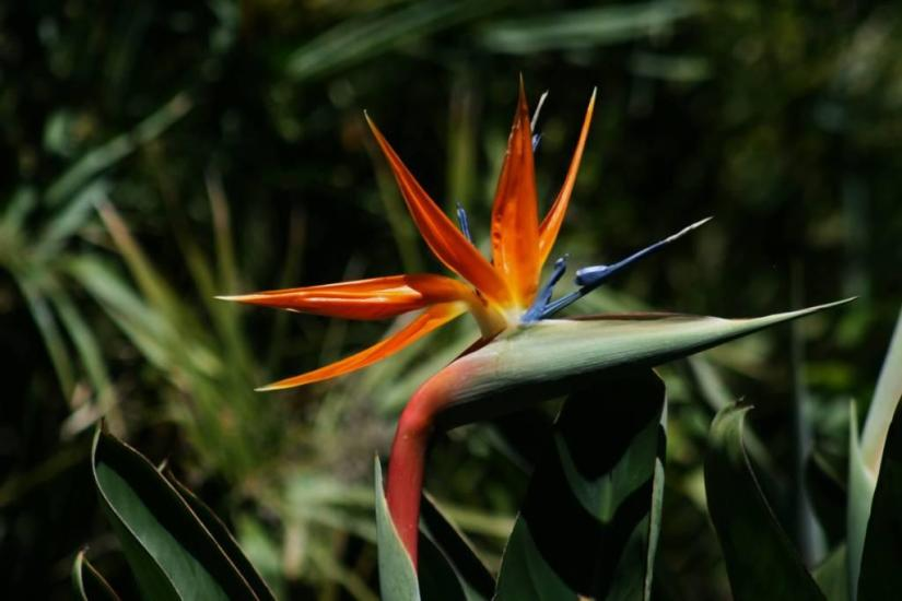 Awesome Bird Of Paradise Flower With Green Background
