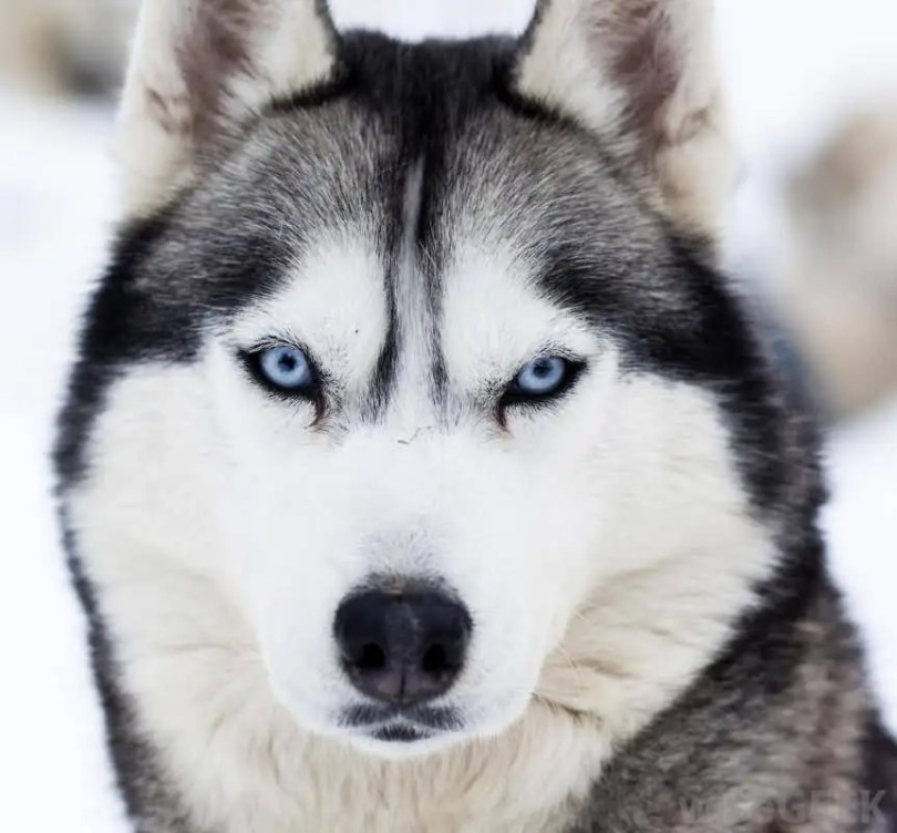 Awesome Blue Eyes Siberian Husky Dog Wallpaper