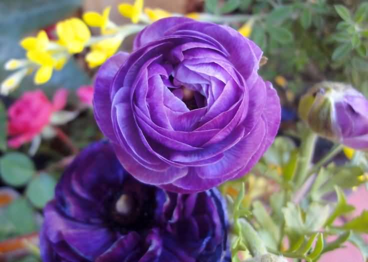 Awesome Blue Persian Buttercup Flower Wallpaper