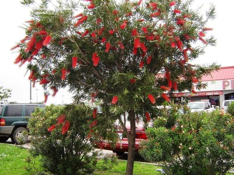 Awesome Bottle Brush Flower Tree Wallpaper
