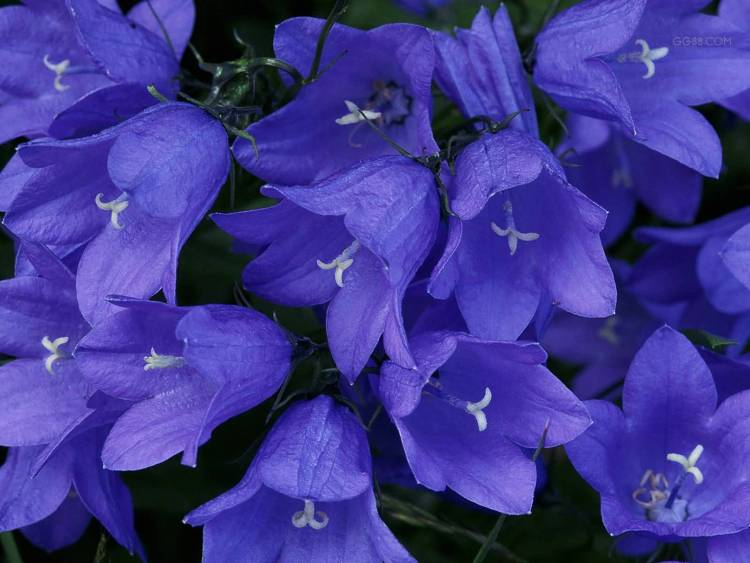 Awesome Many Blue Bellflowers Wallpaper