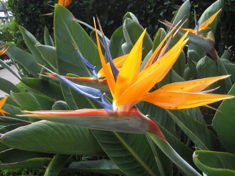 Awesome Orange Bird Of Paradise Flower Plant With Green Leafs Wallpaper