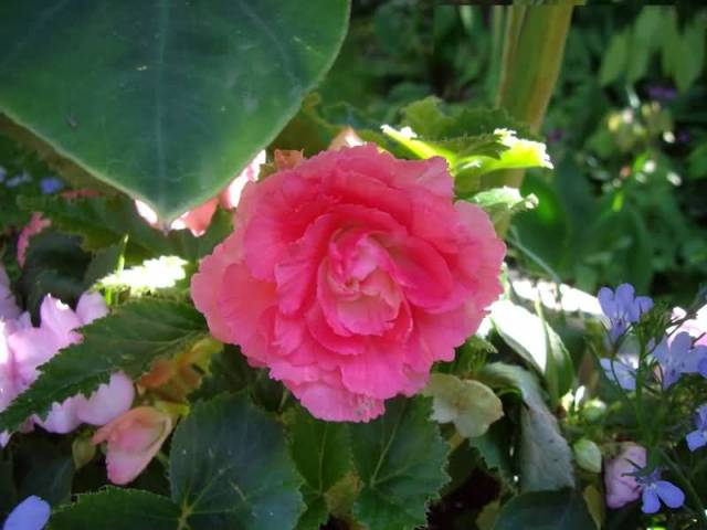 Awesome Pink Begonia Flower Plant With Beautiful Leafs