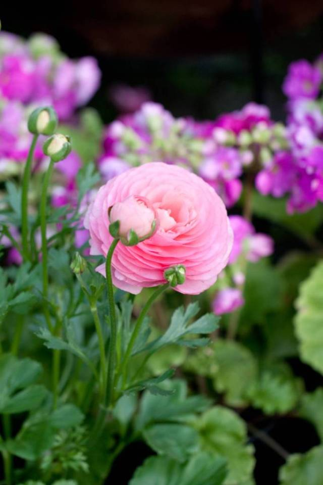 Awesome Pink Persian Buttercup Flower With Green Leafs And Beautiful nature