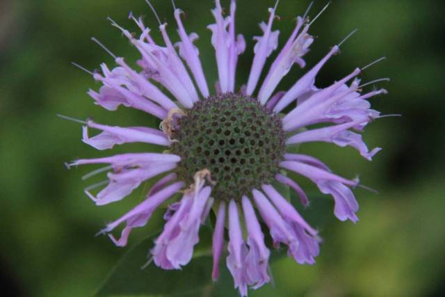 Awesome Purple Bergamot Flower Plant With Green Background