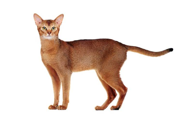Awesome Red Abyssinian Cats With Nice Eyes