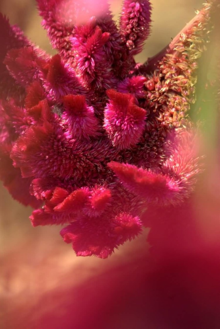 Awesome Red Amaranth Flower For Decorate Anniversary
