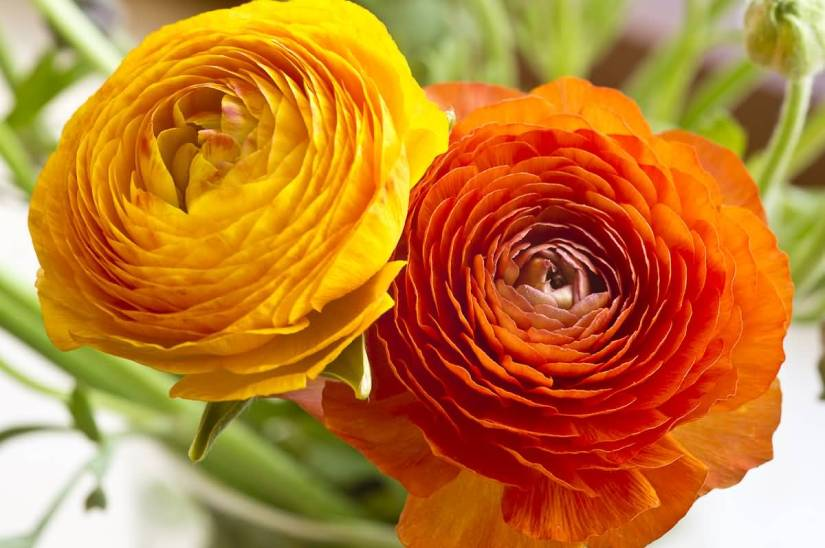 Awesome Red And Yellow Persian Buttercup Flower For Wallpaper