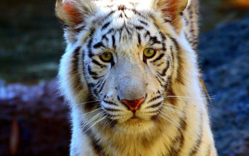 Awesome Tiger Look At Us Full Hd Wallpaper