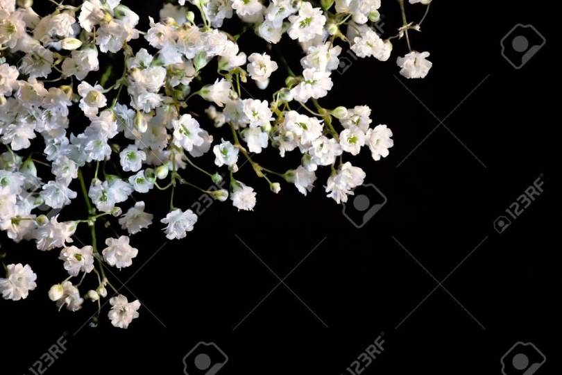 Awesome White Baby's Breath Flower In Plant