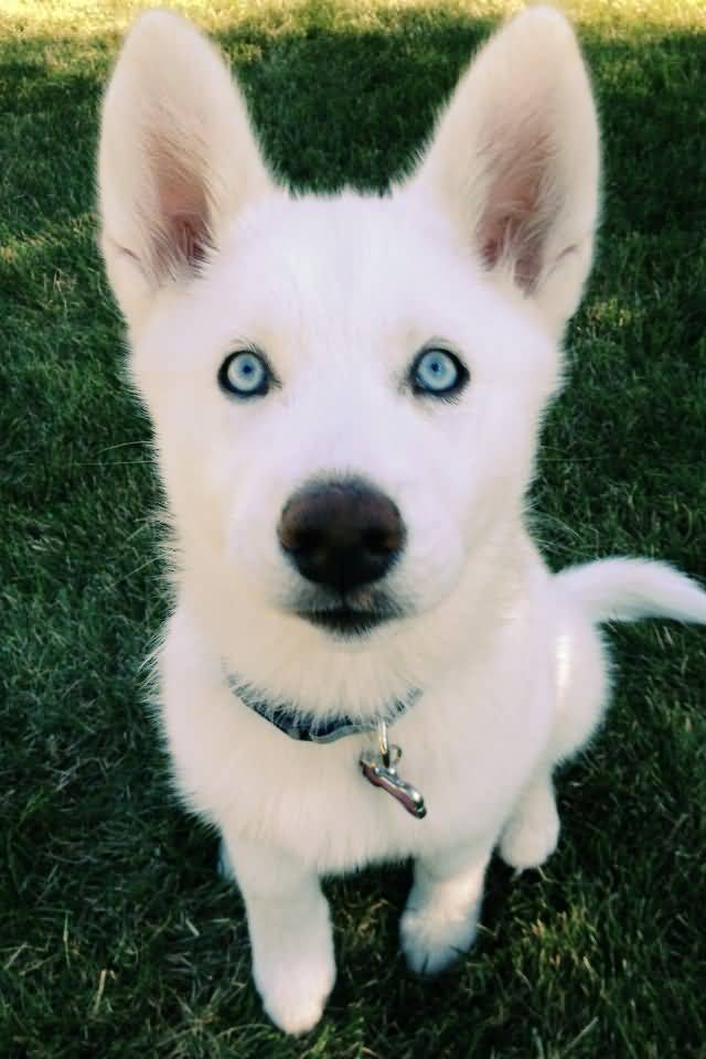 Awesome White Siberian Husky Dog Baby With Cute Eyes