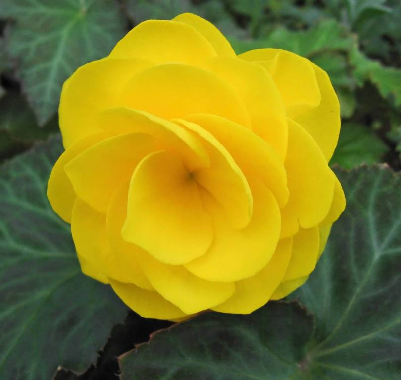 Awesome Yellow Begonia Flower Plant With Beautiful Green Leafs