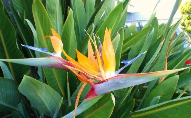Awesome Yellow Bird Of Paradise Flower Plant With Green Leafs