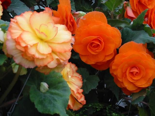 Beautiful Red And Orange Begonia For Decoration