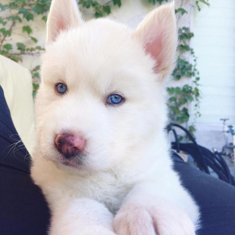Beautiful White Husky Dog With Blue Eyes Looks So Adorable