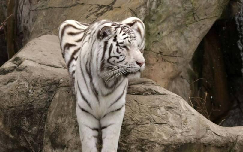 Beautiful White Tiger in 4K Wallpaper