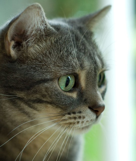Beautifull American Shorthair Cat With cute Green Eyes