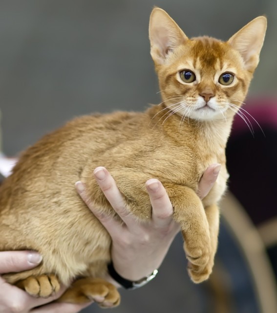 Beautifull Brown Abyssinian Cats In Owner Hand