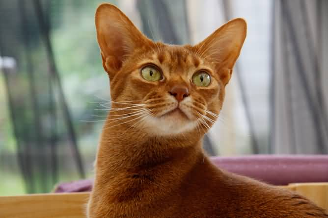 Beautifull Orange Abyssinian Cats With Best Nice Eyes