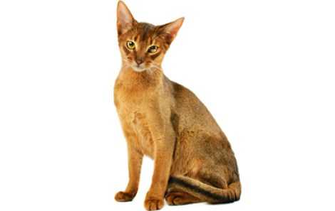 Beautifull clever Ruddy Abyssinian Cats Looking At You