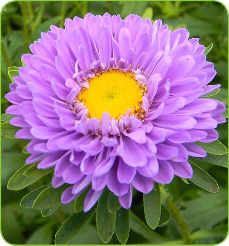 Best Aster Flower Plant For Wedding Decoration
