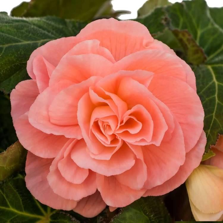 Best Begonia Flower HD Wallpaper