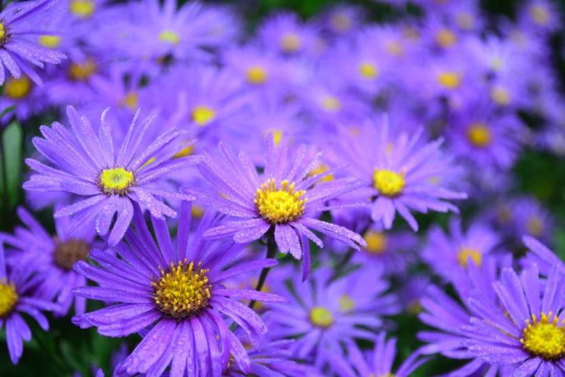 Best Blue Aster Flowers With Yellow Center Wallpaper