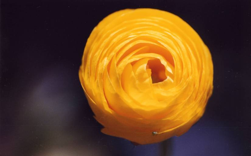 Best Orange Buttercup Flower With Beautiful Background