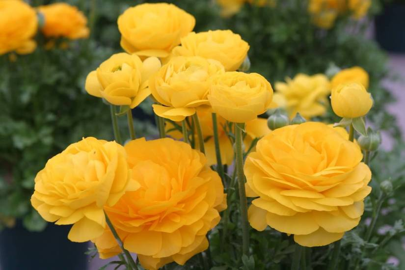 Best Persian Many Yellow Buttercup Flowers For Decoration