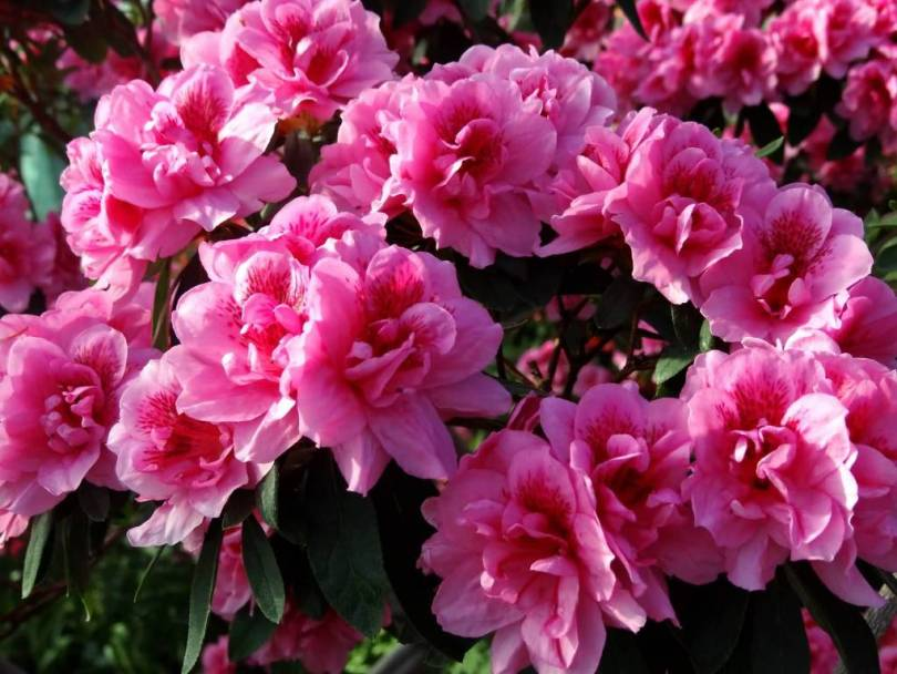 Best Pink Azalea Flower For Decoration