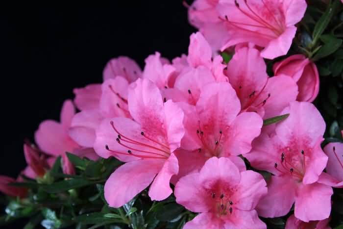 Best Pink Azalea Flowers For Decorate Your Wedding