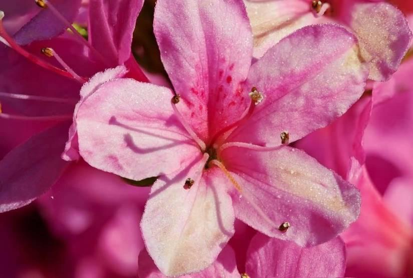Best Pink Azalea Flowers For Your Door Decoration